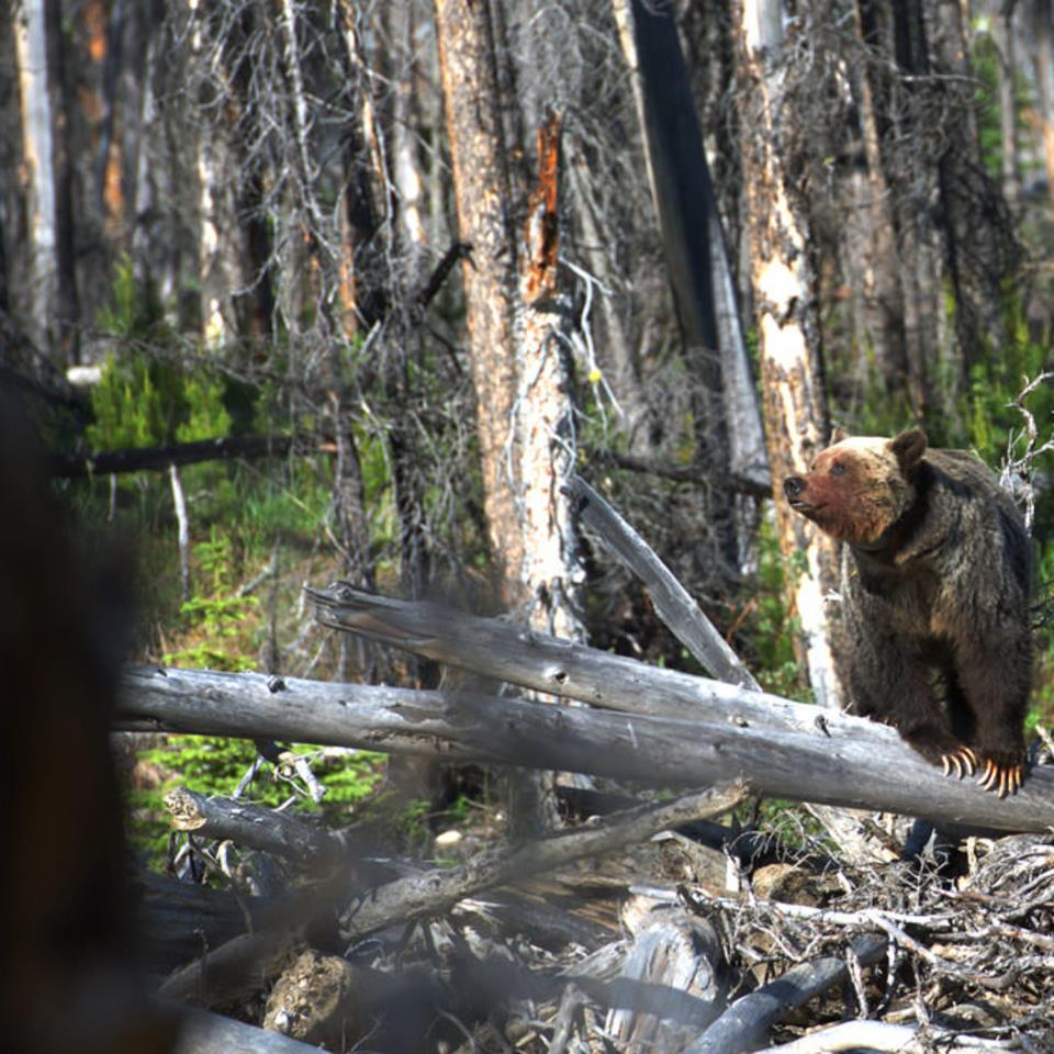 """""""Ms. Grizzly with a reddish face after a carcass kill"""" Photo - Laurens Put"""