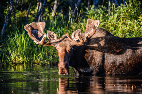 Moose refreshing in the lake. Photo - Ron Ledoux