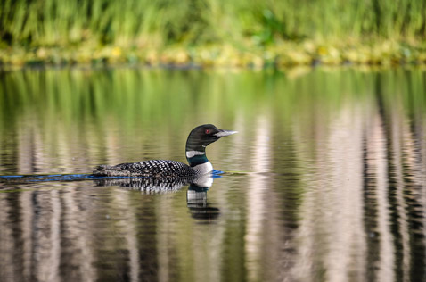 wlidlife, loon floating on a lake. Photo - Ron Ledoux