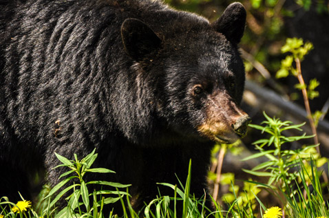 black bear eating grass. Photo - Ron Ledoux