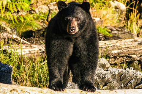 black bears, common creatures of British Columbia. Photo - Ron Ledoux