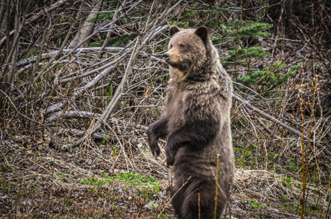 standing grizzly, side of the road, Northern BC. Photo - Ron Ledoux