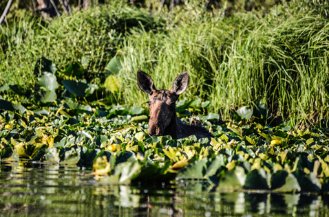 baby moose in the lake, near bell 2 lodge. Photo - Ron Ledoux