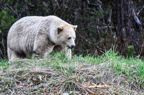 spirit bear, rare wildlife of Northern BC. Photo - Ron Ledoux