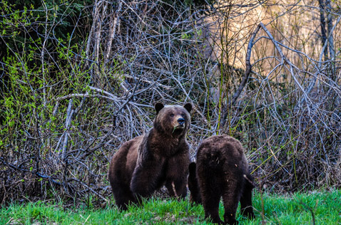 grizzly bears, part of the wildlife near bell 2 lodge. Photo - Ron Ledoux