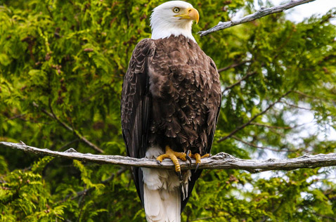 Bald Eagle, common creature of the North. Photo - Ron Ledoux