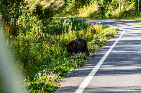 brown bear on the side of the road, Northern BC Canada. Photo - Ron Ledoux