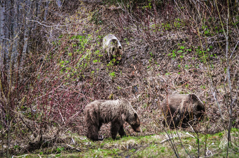 brown bears on the side of the road, Northern BC. Photo - Ron Ledoux