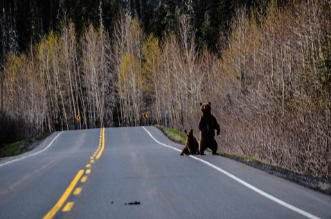 bears and wildlife on the side of the road. Photo - Ron Ledoux